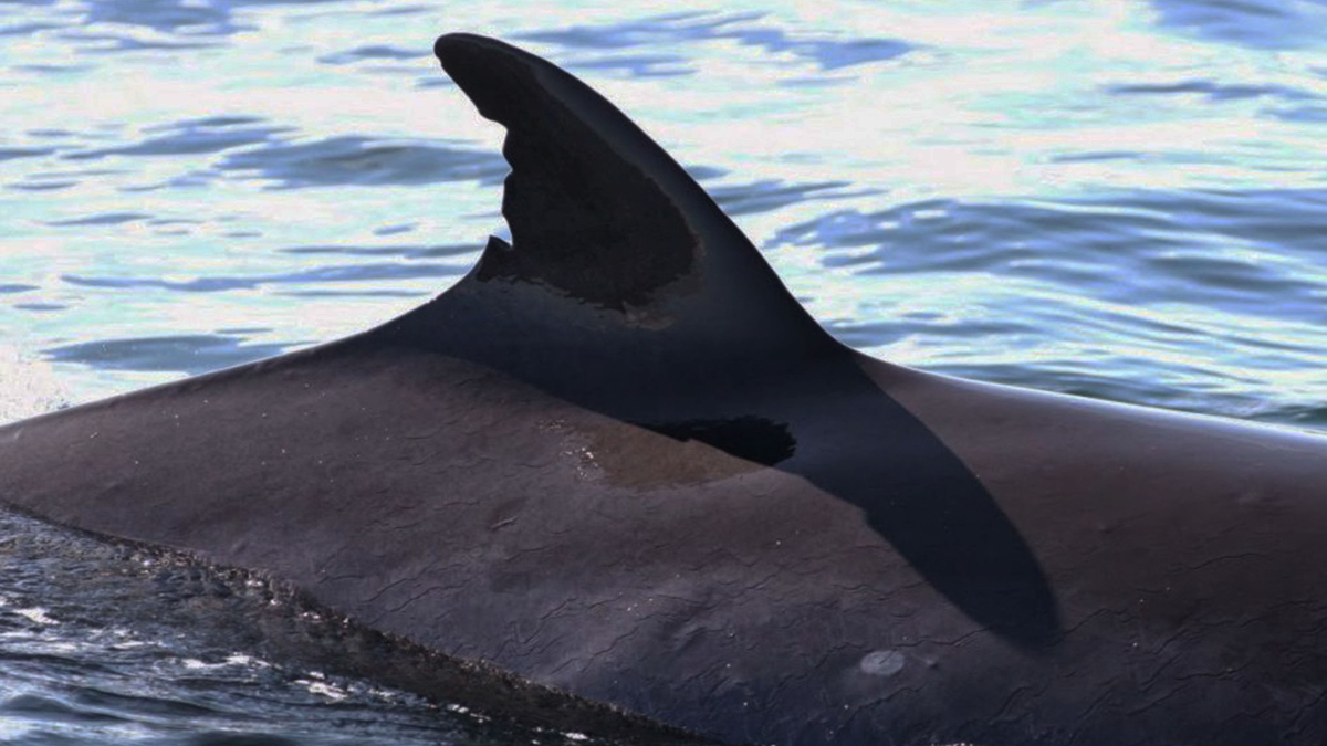 Ewan Miles of Mull based Nature Scotland gives us his Isle of Mull Wildlife Highlights of 2017 including seeing Orcas from Mull's north coast...