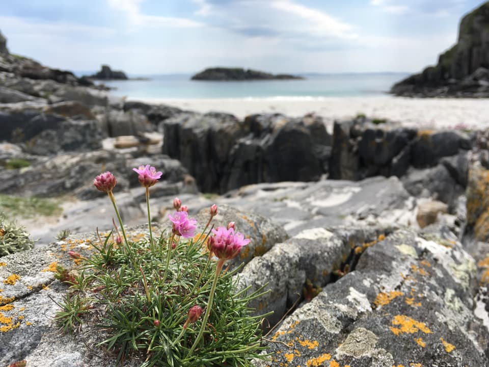 Sea thrift flowering on the rocks in front of a white sand bay and blue sea