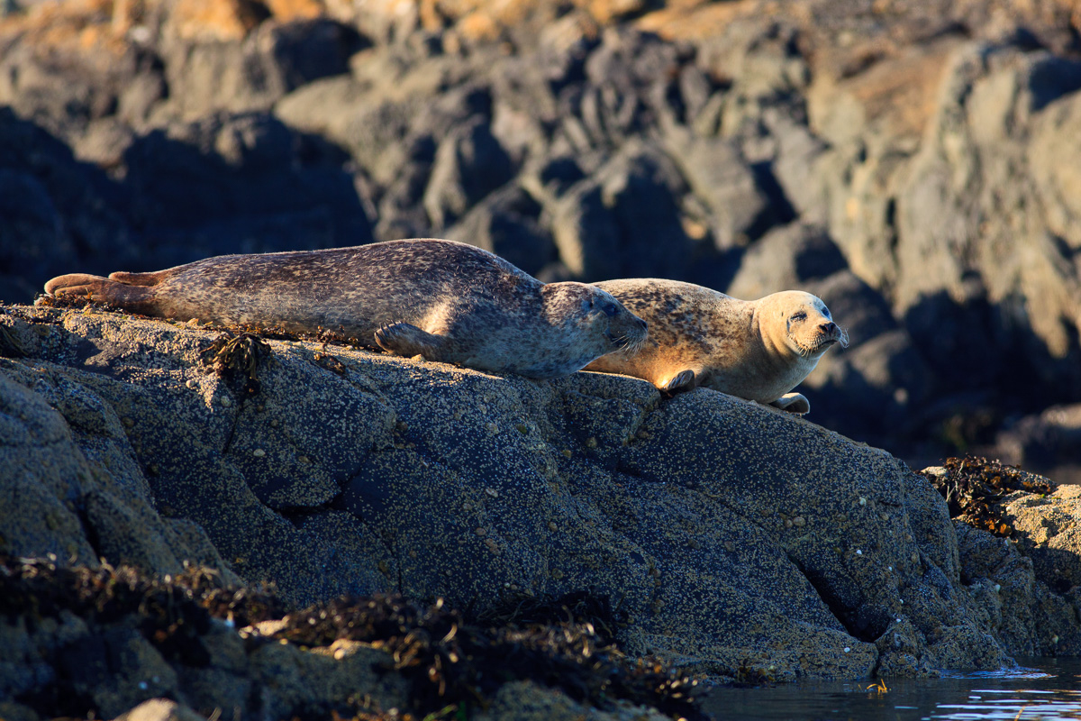 Two common seals basking on rocks in the fading sunlight near the Isle of Mull