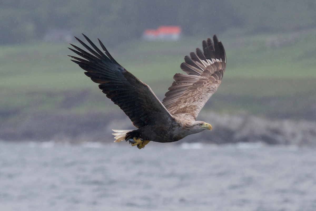 White tailed sea eagle flying over the loch on the Isle of Mull