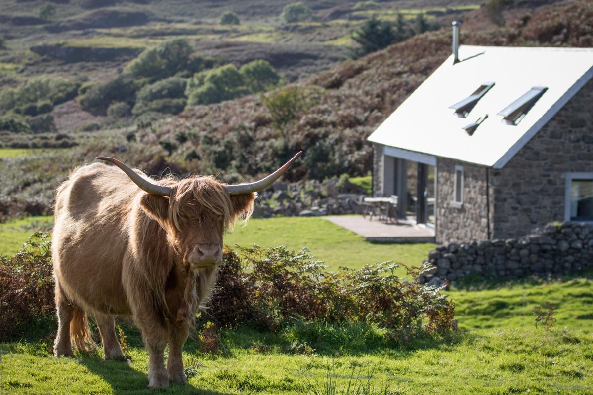 Highland cow beside Shepherd's Light cottage on Mull