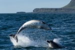 Dolphins jumping in the seas around Mull with island Bac Mor in the background