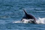 Fast and agile, dolphins creating a splash