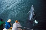 Passengers aboard Mull's whale watch operator getting wowed by a minke whale