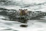 An otter just after emerging from the sea!