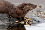 Otter surveys the scene while eating it's catch