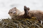 Otter on a rocky outcrop off Mull's coast