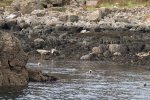 Grey seals entering the water