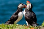 Puffins can be seen on Staffa during the summer months