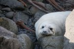 Grey seal pups can be seen on the islands in October