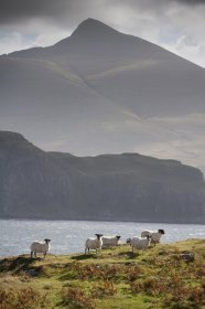 Sheep with Ben More behind