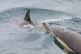 Common Dolphins in the seas around Mull