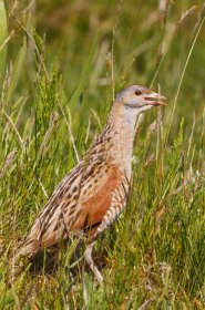 Corncrakes can be seen on Iona