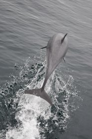 Dolphin leaping off the north west coast of Mull
