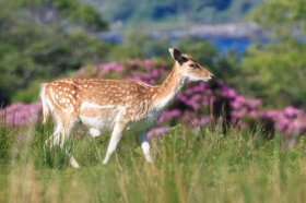 Fallow deer near Lochbuie in south Mull