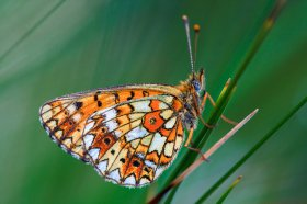 Pearl-bordered fritillary in Mull's grassland
