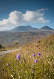 Devil's-bit scabious growing long the road through Glen More