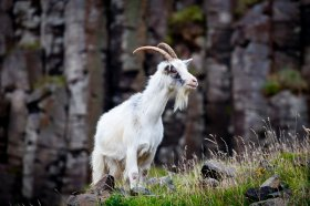 A wild goat along the coast at Carsaig