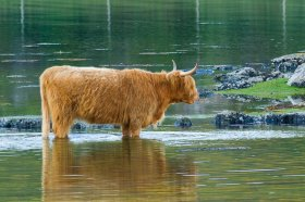 Highland Coo taking a dip