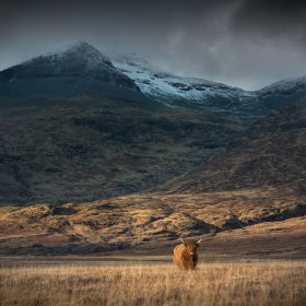 Highland cow in grassland below Ben More in winter