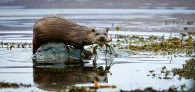 Otter carrying a crab