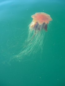 Lion's mane jellyfish are seen around Mull's coast
