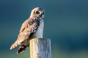 Short eared owl sitting on a fence post