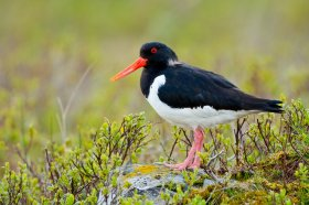 Oystercatchers are widespread on Mull