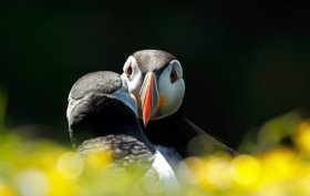 Puffins are a seasonal visitor