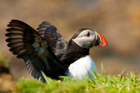 Puffins are seen on Mull's isles during the summer