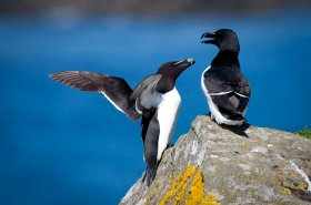 Razorbills found on Mulls' isles
