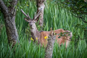 Red deer near Moy castle Lochbuie
