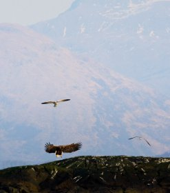White tail eagle on rocks near Lochdon