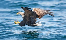 A white tailed sea eagle about to make a catch