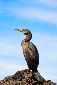 Shags are often seem around the coastline