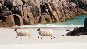 Sheep on the beach!