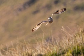 Short eared owl over Mull's grassland