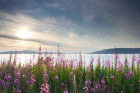 Rosebay Willowherb along the coast of the Sound of Mull