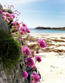 Thrifts in bloom at one of Mull's beaches