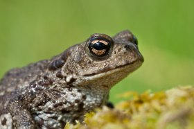 A Mull toad