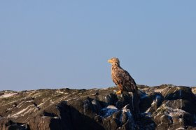 A juvenile white tailed eagle perched on a rock at Loch don