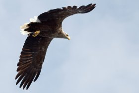 The white tailed eagle is a stunning bird