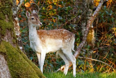 Fallow deer on the estate