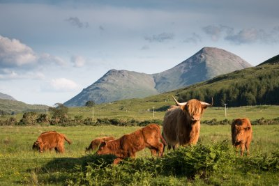 Glen Forsa and the highland cows