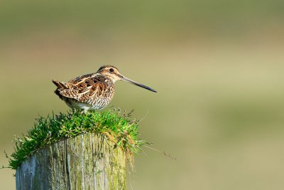 A Snipe! The Cottages' namesake!
