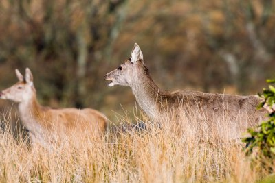 Red deer in the grasses