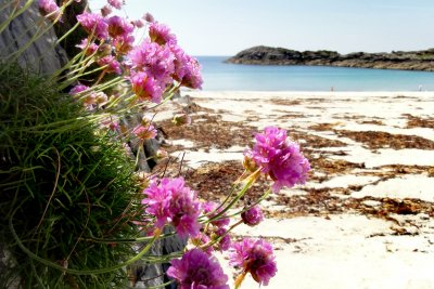 Wild flowers along Mull's coastline