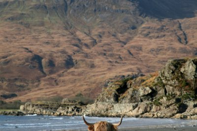 Even the coo's enjoy the beach at Laggan!
