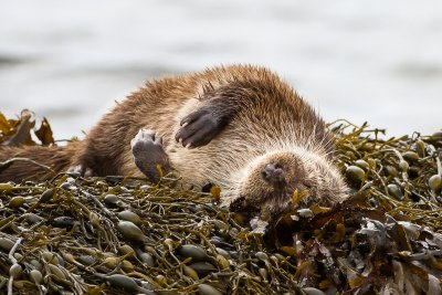 Otter rolling in seaweed