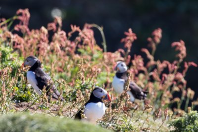 Take a boat trip out to the Treshnish Islands to see the puffins (seasonal)